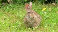 Stock Video Footage of Eastern Cottontail (Sylvilagus floridanus) 4