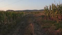 Corn field [glidecam] _3 Stock Footage