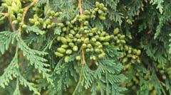 Cedar boughs Stock Footage