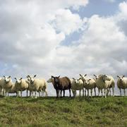 Netherlands, Flock of sheep standing on field Stock Photos