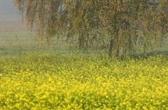 Germany, Baden-Wurttemberg, Birch tree on rape field - stock photo