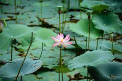 Pink lotus water lilly Stock Photos