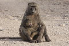 Ethiopia, Awash National Park, Baboon (Papio) with baby Stock Photos