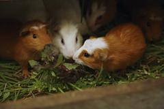 Ecuador, Hacienda Manteles, Guinea pigs (Cavia aperea) - stock photo