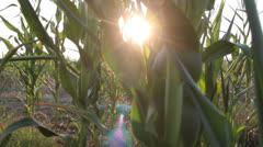 Corn field _32 Stock Footage