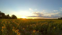 Field with sunflowers at sunset. Stock Footage
