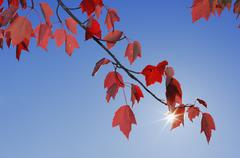 USA, New England, Maple leaves against blue sky - stock photo