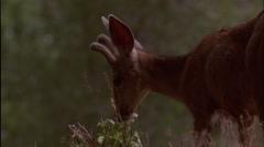 Deer,buck,small antlers,mule,head,Co. Stock Footage
