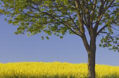 Germany, Mecklenburg-Western Pomerania, Tree in rape field - stock photo