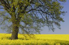 Germany, Mecklenburg-Western Pomerania, Oak tree (Quercus spec.) in rape field - stock photo