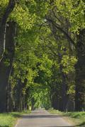 Germany, Mecklenburg-Western Pomerania, Oak tree lined field path - stock photo