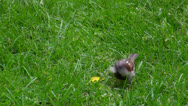 Stock Video Footage of Sparrow picking crumbs from grass