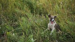 Puppy at the Grass 1 Stock Footage