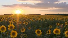 Field with sunflowers at sunset. - stock footage