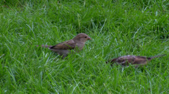 Two sparrows on the grass Stock Footage