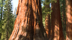Giant Sequoia trees in Yosemite National Park. Stock Footage