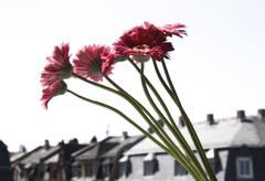 Gerbera (Asteraceae), close-up Stock Photos