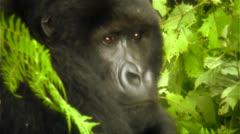 Mountain gorillas in the jungle. Stock Footage