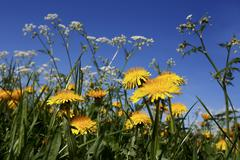 Dandelions (Taraxacum) abloom - stock photo