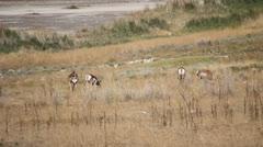 Antelopes grazing Stock Footage