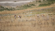 Stock Video Footage of Antelopes grazing