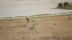 Antelope Stock Footage