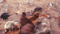 Seals amass on a beach. Stock Footage