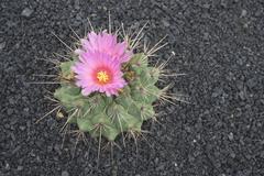 Spain, Lanzarote, Cactus (Echinocactus) abloom, elevated view - stock photo