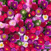 aster flowers background - stock photo