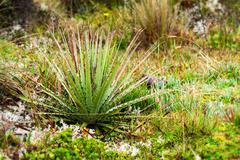 High Altitude Vegetation Llanganates National Park Ecuador - stock photo