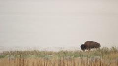 Buffalo,  American Bison walking Stock Footage