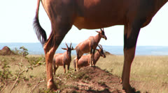 Elands or hartebeest pose on rocks in Africa. Stock Footage
