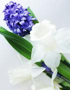 blue hyacinth and white narcissus - stock photo