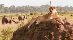 A beautiful lion poses on a rock in Africa. Stock Footage