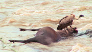 Stock Video Footage of A vulture sits on a rotting corpse of a wildebeest in a river in Africa.