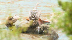 Vultures stand on a rotting corpse in a river. - stock footage