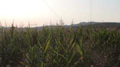 Corn field [glidecam] _99 Stock Footage