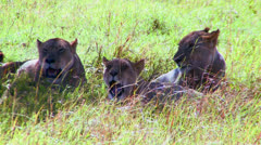 Lions lie in the grass on the African savannah. Stock Footage