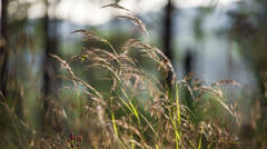 Macro of yellow grass swaying in the wind. Autumn. Shot to RAW, wide dynamic Stock Footage