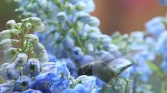Hummingbird with blue delphinium flowers Stock Footage