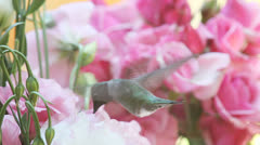Hummingbird with roses and lisianthus Stock Footage