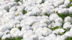 Avenue of white chrysanthemums - stock footage
