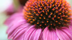 Coneflower up close Stock Footage