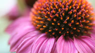 Stock Video Footage of coneflower up close