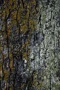 Horse chestnut (Aesculus hippoc‡stanum), close up - stock photo