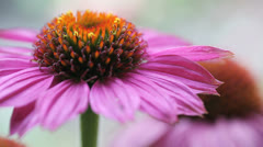 Echinacea or coneflower Stock Footage