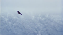 Eagles, flying by, Alaska, spawing salmon Stock Footage