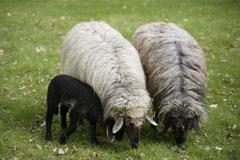 Saksassa, Baijerissa, Ebenhausen, Lampaat (Ovis orientalis aries), naisten ja karitsan Kuvituskuvat