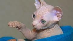 Sphynx kitten. Stock Footage