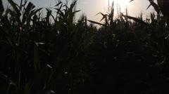 Corn field [glidecam] evening Stock Footage